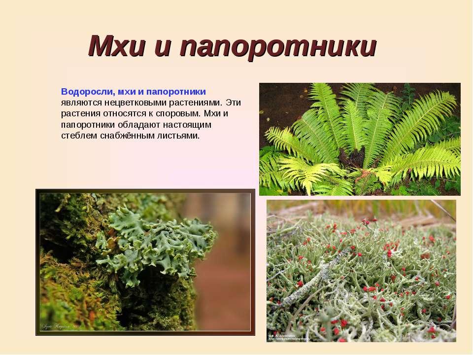 Мхи и папоротники Водоросли, мхи и папоротники являются нецветковыми растения...