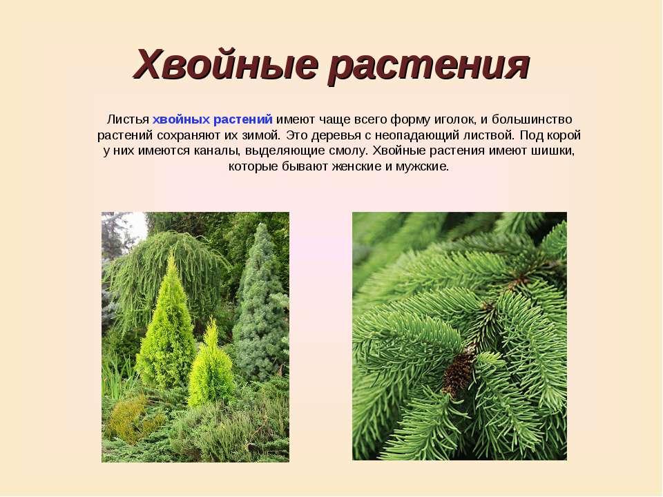 Хвойные растения Листья хвойных растений имеют чаще всего форму иголок, и бол...