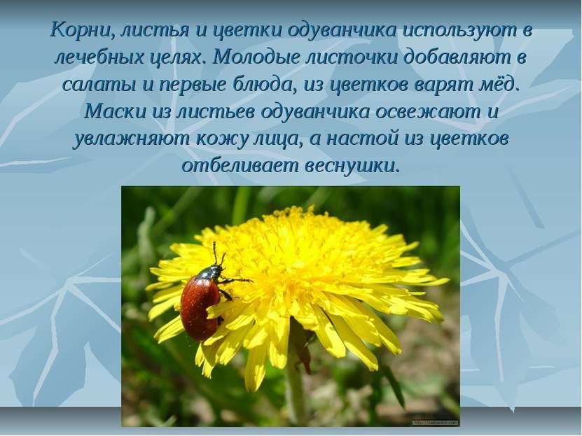Корни, листья и цветки одуванчика используют в лечебных целях. Молодые листоч...