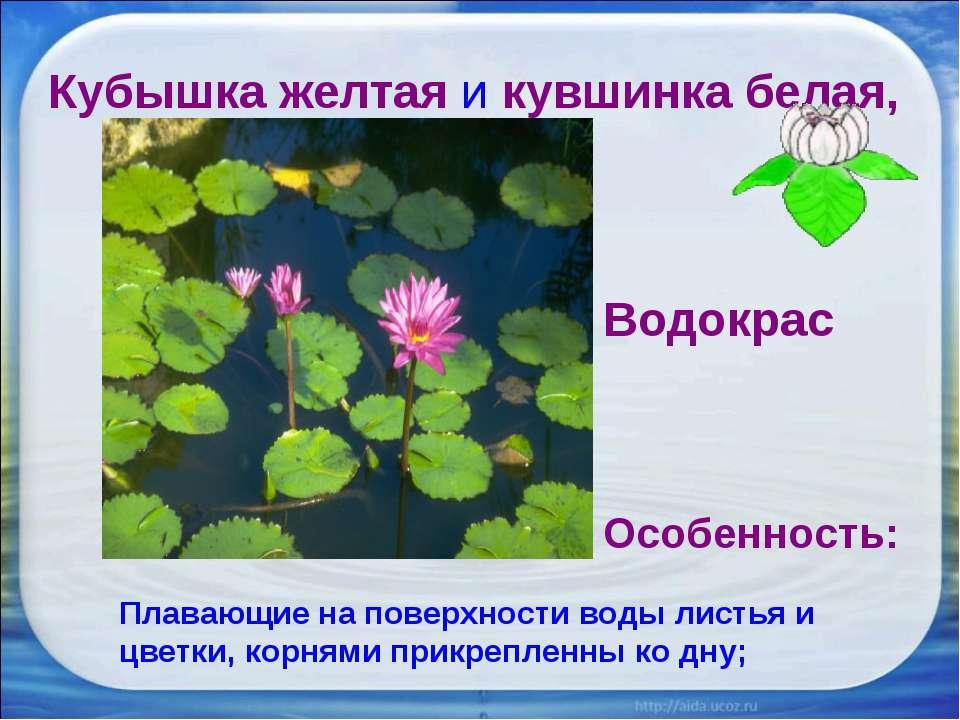 Кубышка желтая и кувшинка белая, Водокрас Особенность: Плавающие на поверхнос...