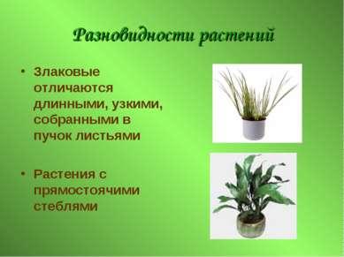 Разновидности растений Злаковые отличаются длинными, узкими, собранными в пуч...