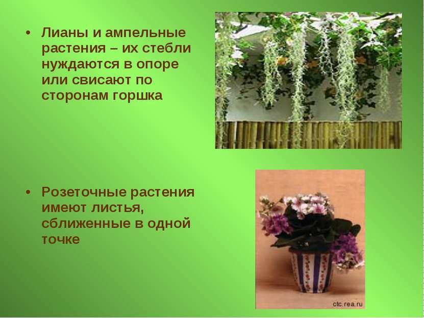 Лианы и ампельные растения – их стебли нуждаются в опоре или свисают по сторо...