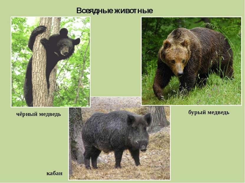 Всеядные животные чёрный медведь бурый медведь кабан