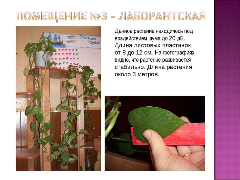 Данное растение находилось под воздействием шума до 20 дБ. Длина листовых пла...