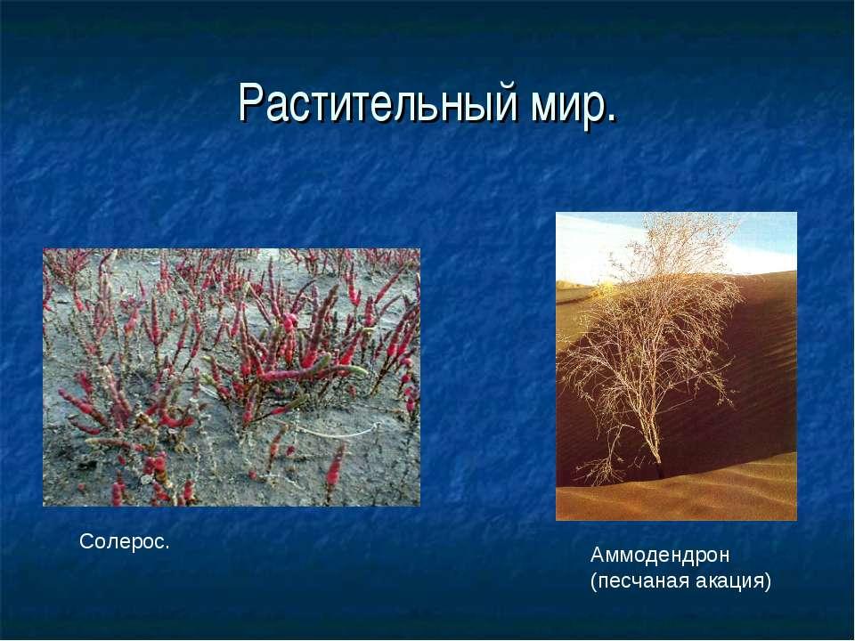 Растительный мир. Солерос. Аммодендрон (песчаная акация)