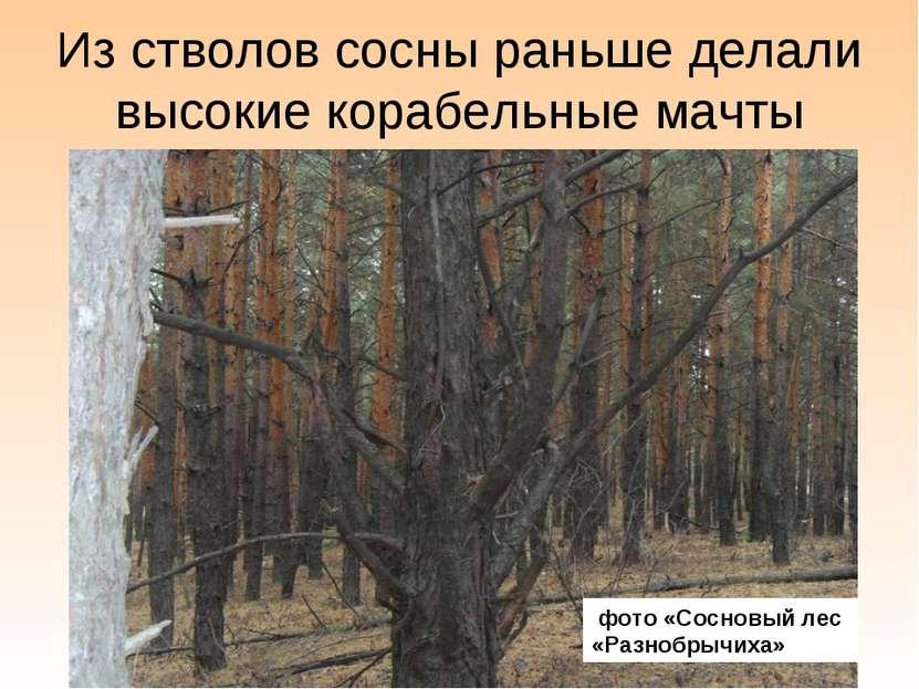 Из стволов сосны раньше делали высокие корабельные мачты фото «Сосновый лес «...