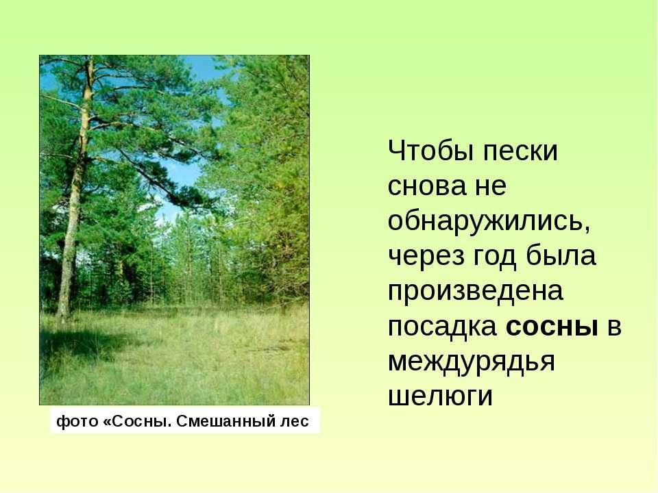 фото «Сосны. Смешанный лес Чтобы пески снова не обнаружились, через год была ...