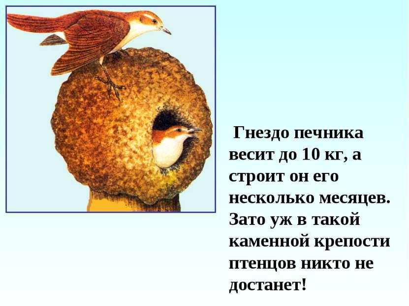 Гнездо печника весит до 10 кг, а строит он его несколько месяцев. Зато уж в т...