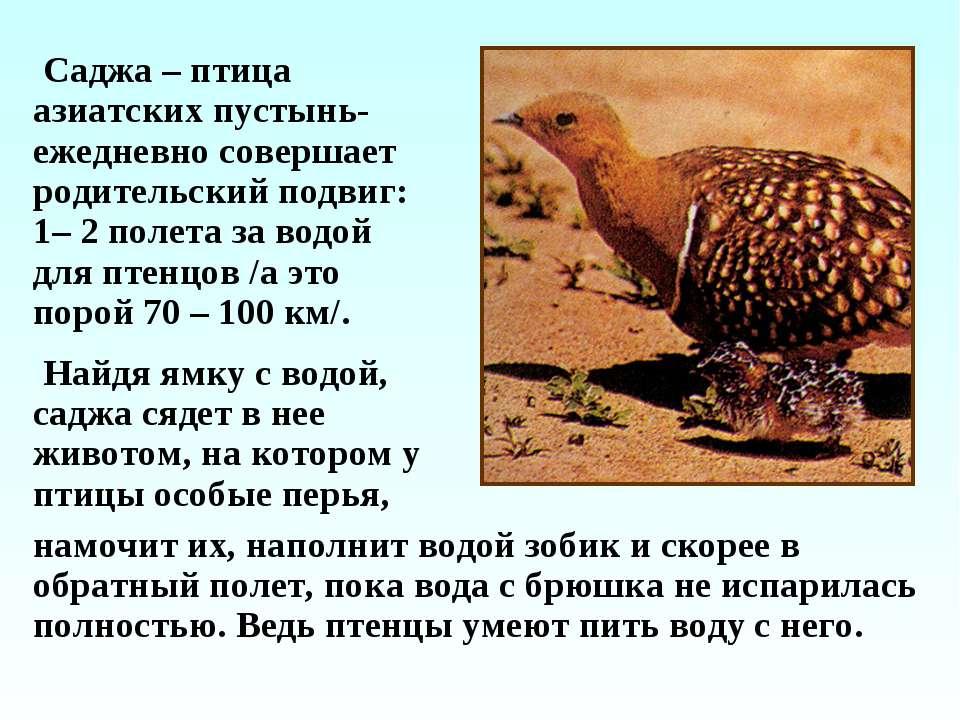 Саджа – птица азиатских пустынь- ежедневно совершает родительский подвиг: 1– ...