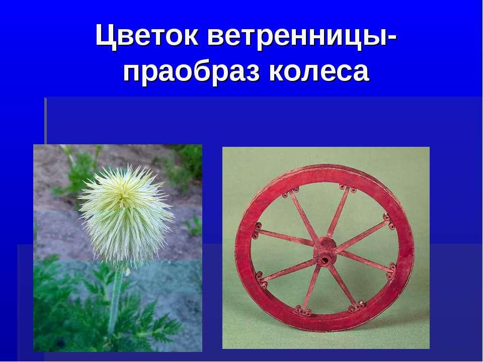 Цветок ветренницы-праобраз колеса