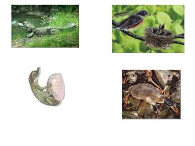 Яйцекладущие млекопитающие Птицы Пресмыкающиеся
