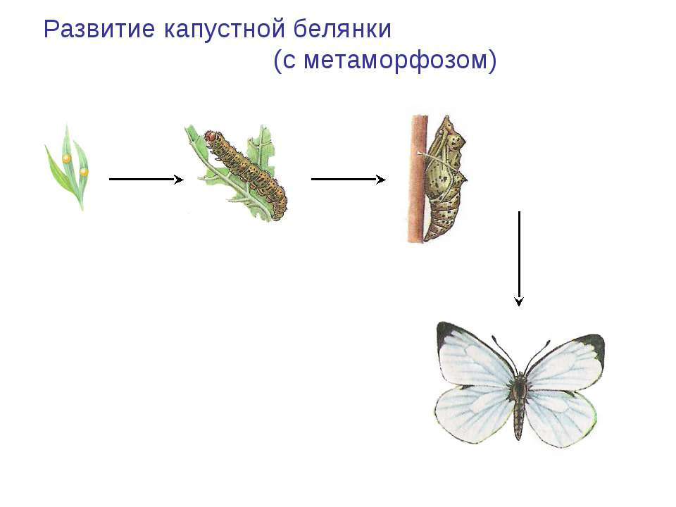 Развитие капустной белянки (с метаморфозом) Яйцо Гусеница (личинка) Куколка В...