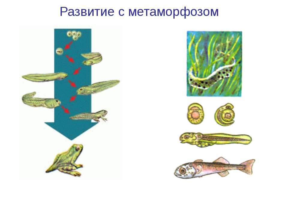 Развитие лягушки Развитие рыбы Развитие с метаморфозом