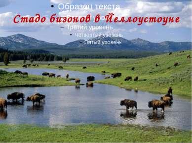 Стадо бизонов в Йеллоустоуне
