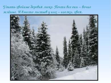 Узнать хвойные деревья легко. Почти все они – вечно зелёные. И вместо листьев...
