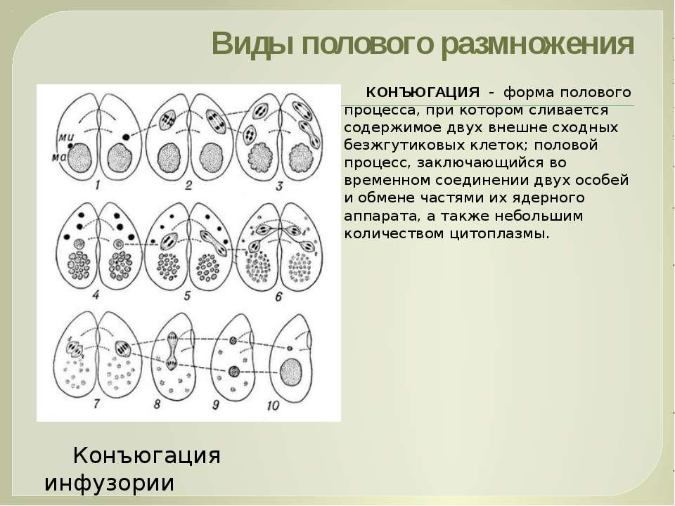 Виды полового размножения КОНЪЮГАЦИЯ - форма полового процесса, при котором с...