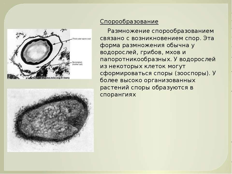 Спорообразование Размножение спорообразованием связано с возникновением спор....