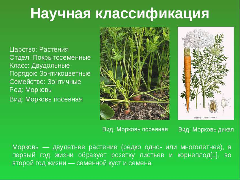 Научная классификация Царство: Растения Отдел: Покрытосеменные Класс: Двудоль...
