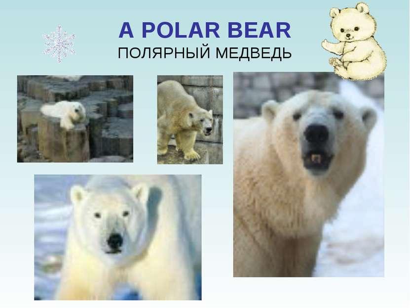 A POLAR BEAR ПОЛЯРНЫЙ МЕДВЕДЬ