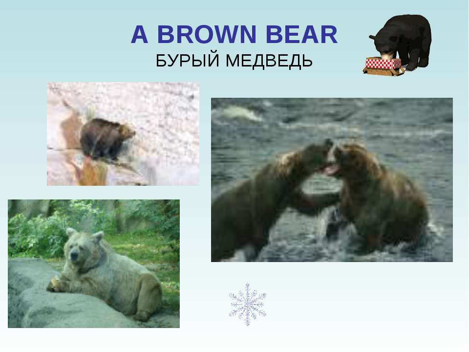 A BROWN BEAR БУРЫЙ МЕДВЕДЬ
