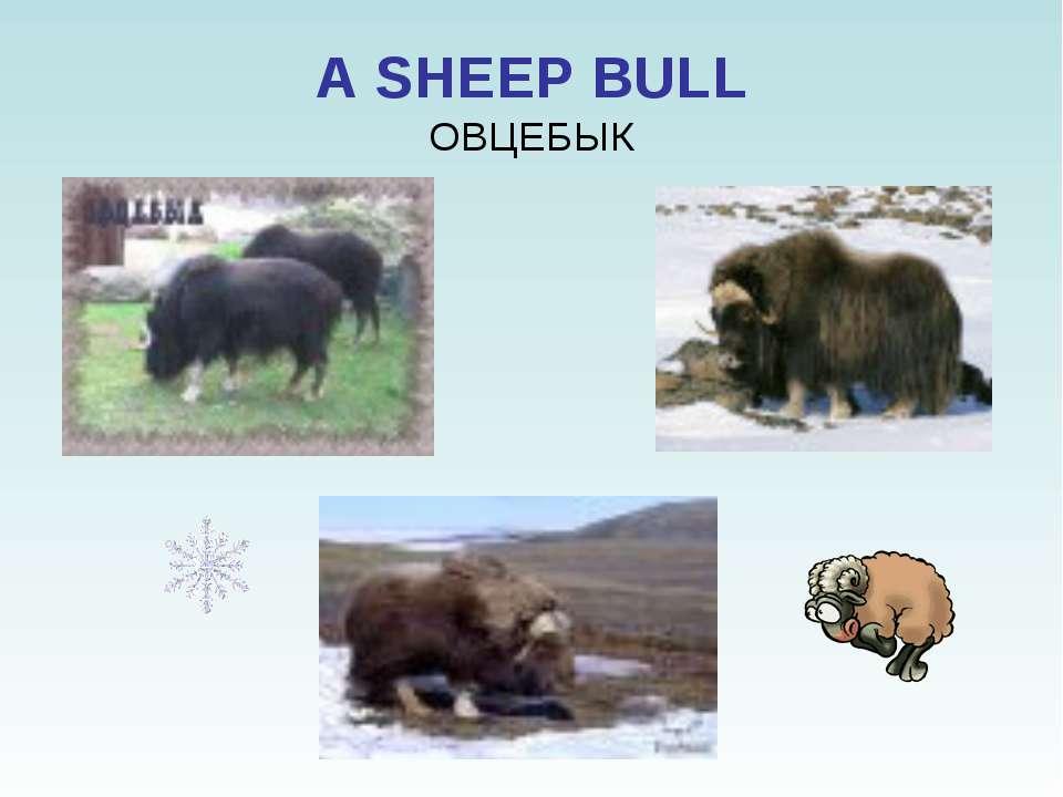 A SHEEP BULL ОВЦЕБЫК