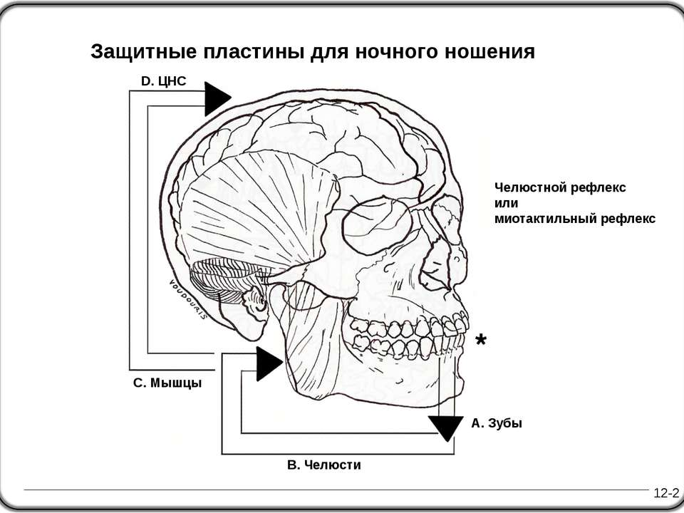 Челюстной рефлекс или миотактильный рефлекс 12-2 D. ЦНС A. Зубы Защитные плас...