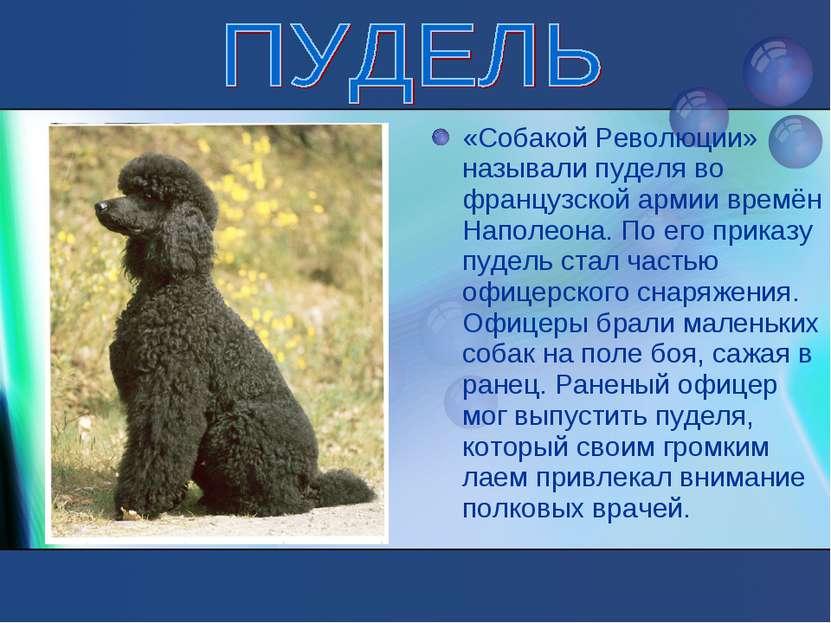 «Собакой Революции» называли пуделя во французской армии времён Наполеона. По...