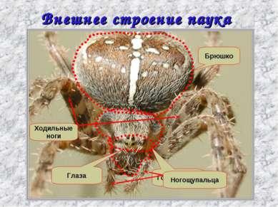 Внешнее строение паука крестовика Головогрудь Брюшко Глаза Ходильные ноги Ног...