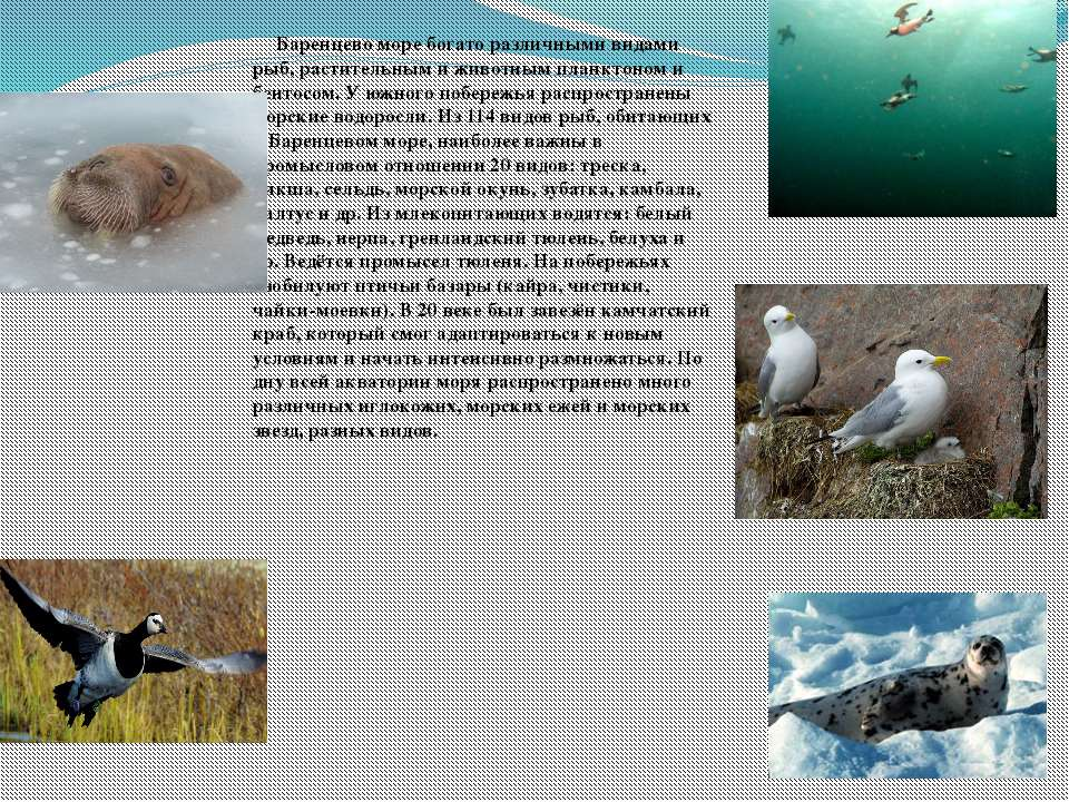 Баренцево море богато различными видами рыб, растительным и животным планктон...