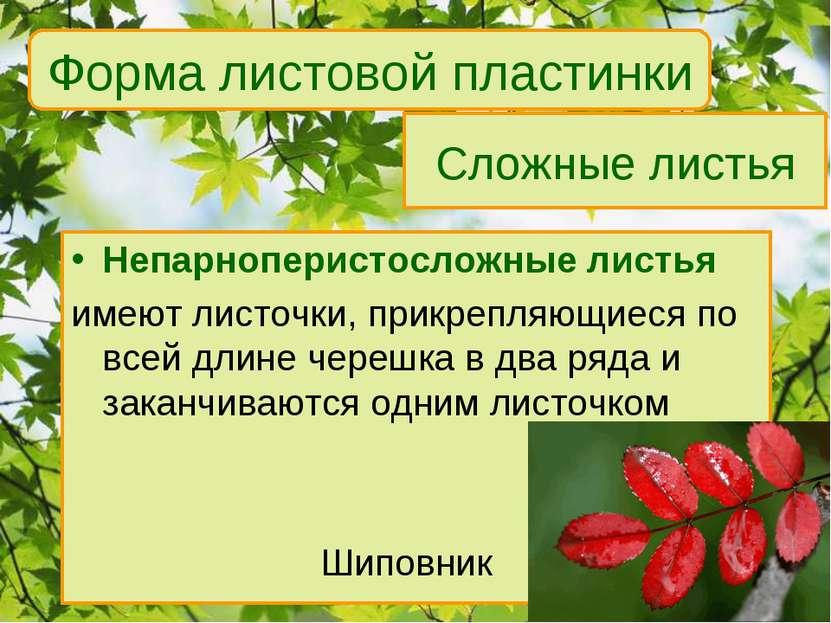 Сложные листья Непарноперистосложные листья имеют листочки, прикрепляющиеся п...