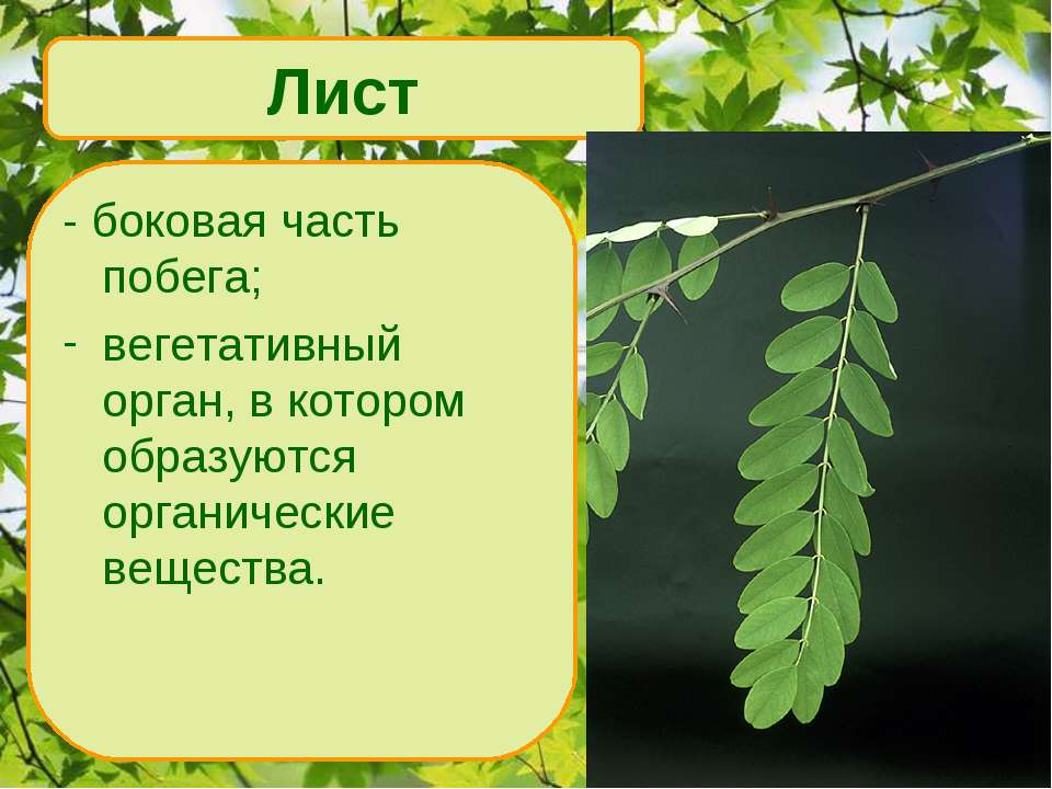- боковая часть побега; вегетативный орган, в котором образуются органические...