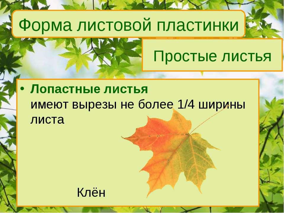 Простые листья Лопастные листья имеют вырезы не более 1/4 ширины листа Клён Ф...