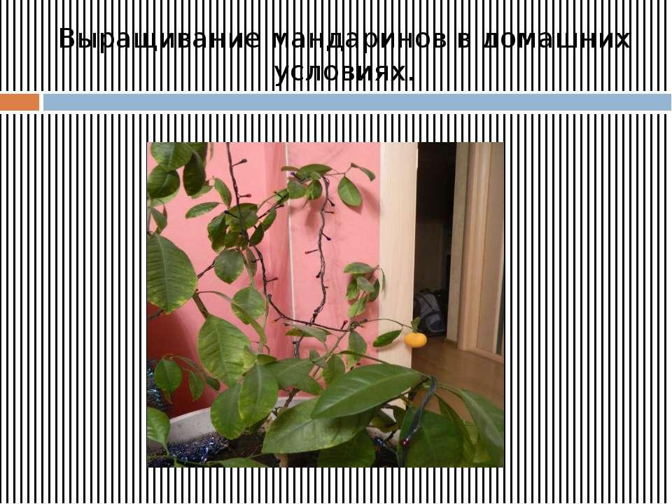 Выращивание мандаринов в домашних условиях.