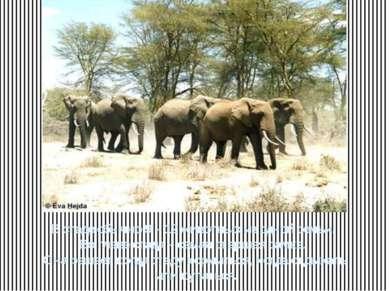 В стаде обычно 9 – 12 животных из одной семьи. Во главе стада – самая старшая...