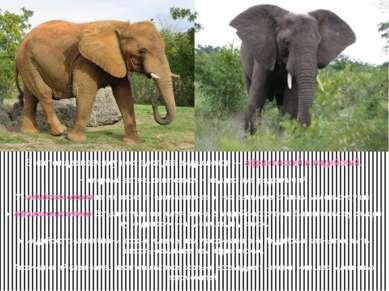 В настоящее время существуют два вида слонов — африканский и индийский. На пе...