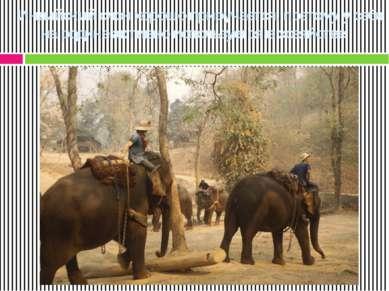 Индийский слон хорошо приручается, поэтому у себя на родине активно используе...