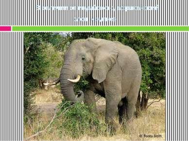В отличии от индийского, африканский слон крупнее