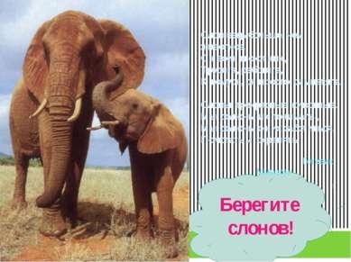Берегите слонов! Слон ведь больше, чем животное. Он воин и охотник, Трудяга, ...