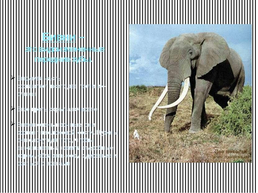 Бивни – это видоизмененные передние зубы. Видимая часть составляет всего две ...