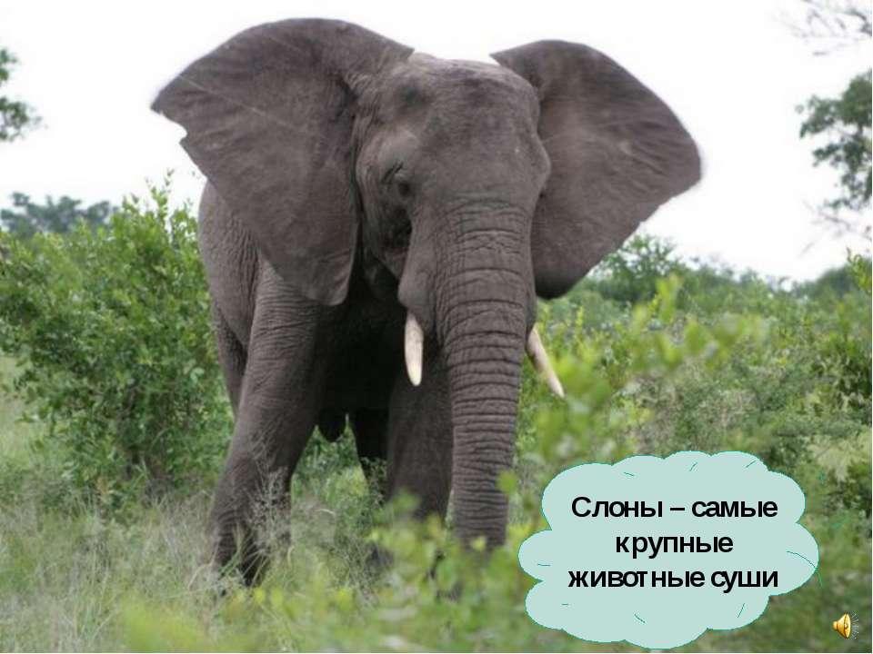 Слоны – самые крупные животные суши