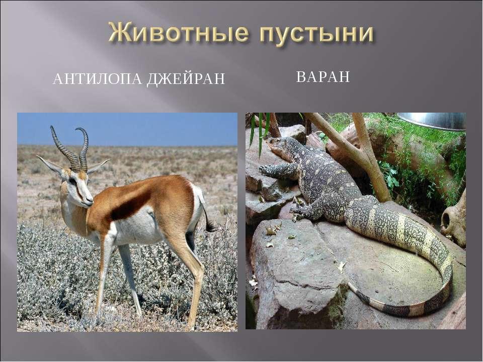 АНТИЛОПА ДЖЕЙРАН ВАРАН