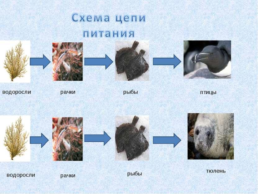водоросли рачки рыбы птицы водоросли рачки рыбы тюлень