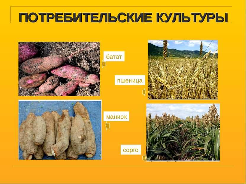 ПОТРЕБИТЕЛЬСКИЕ КУЛЬТУРЫ батат пшеница маниок сорго