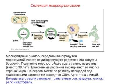 Селекция микроорганизмов Молекулярные биологи передали винограду ген морозоус...