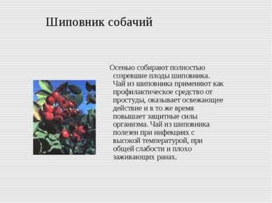 Шиповник собачий Осенью собирают полностью созревшие плоды шиповника. Чай из ...