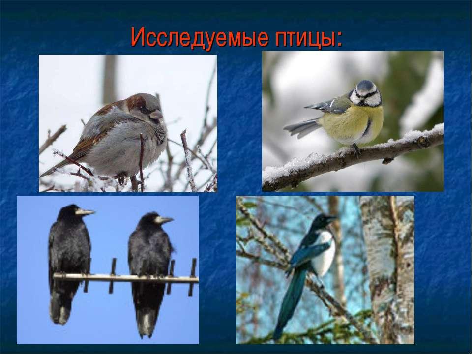 Исследуемые птицы: