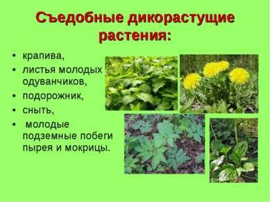 Съедобные дикорастущие растения: крапива, листья молодых одуванчиков, подорож...