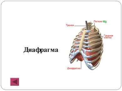 Диафрагма
