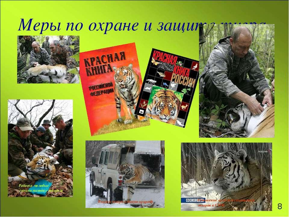 Меры по охране и защите тигра Выпуск тигра в дикую природу Освещение проблем ...