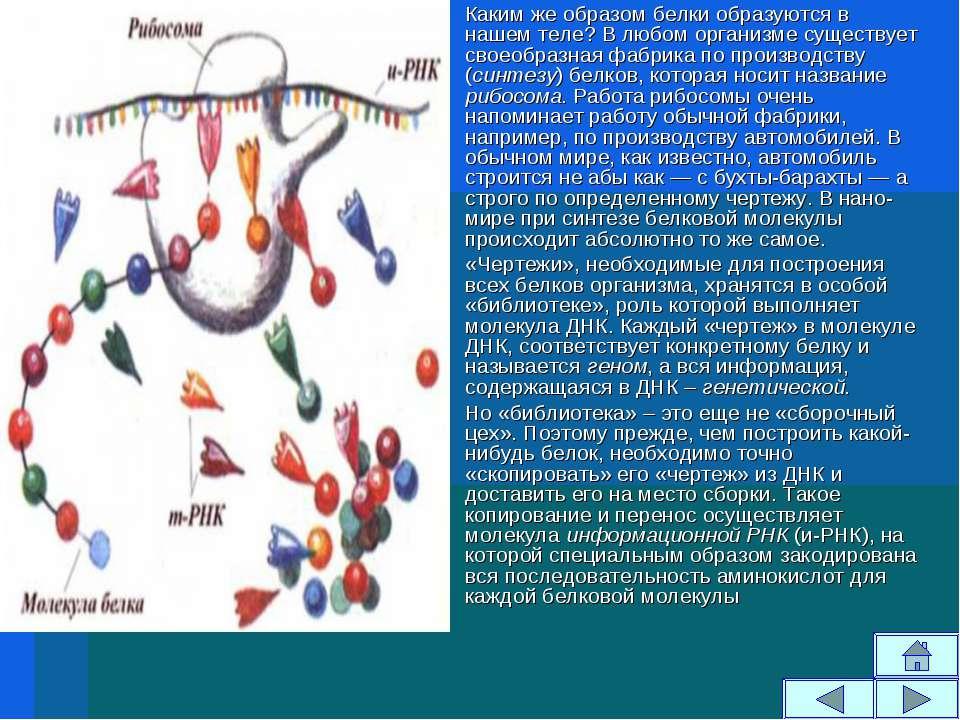 Каким же образом белки образуются в нашем теле? В любом организме существует ...